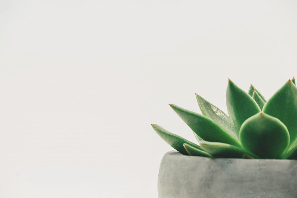 suculent plant minimalistic style
